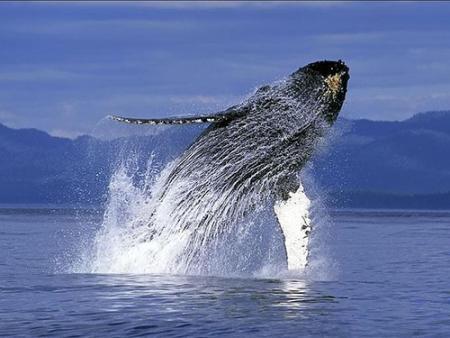 ballenas canadajpg