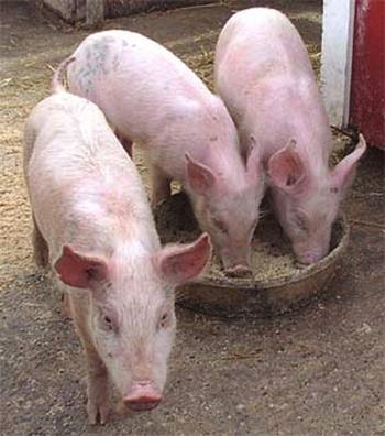 cerdos-canada.jpg