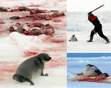 matanza-de-focas.jpg